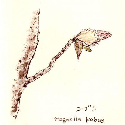 こぶし咲くあの丘 【Magnolia Kobus】
